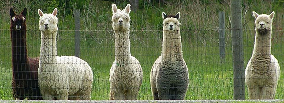 Award-Winning Alpaca Herdsires