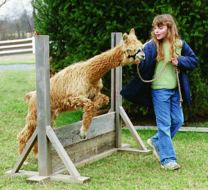 We can halter train your alpaca