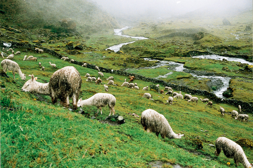 Alpacas grazing in the Andean highlands