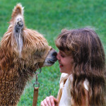 Alpacas are typically gentle around children